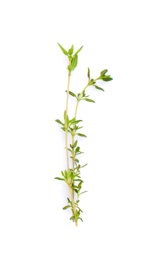 An herb stem with whorled leaves.